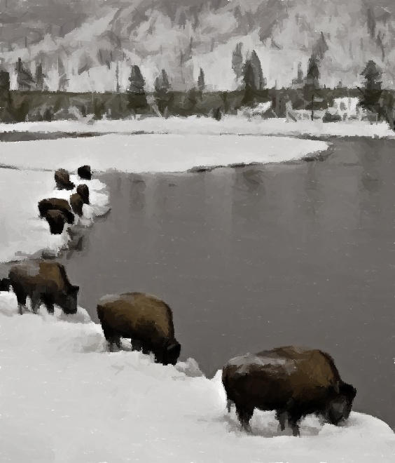 bison on water pic